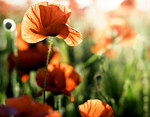 TSO: Field of Flowers - P Stanhope